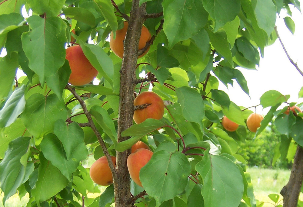 VWN-Apricot-Mascot-tree.jpg