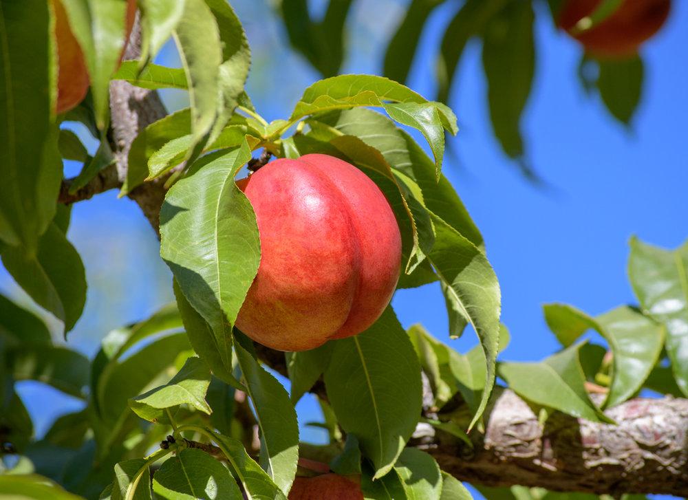 VWN-nectarine-tree.jpg
