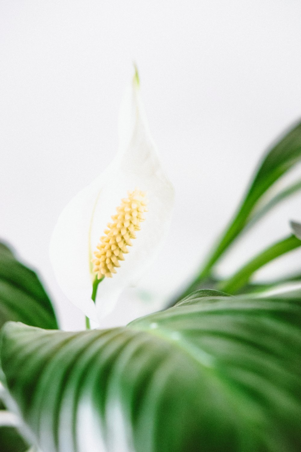 Peace Lily — a graceful beauty that reduces the level of mold spores in the environment, helping to improve air quality by as much as 60%.