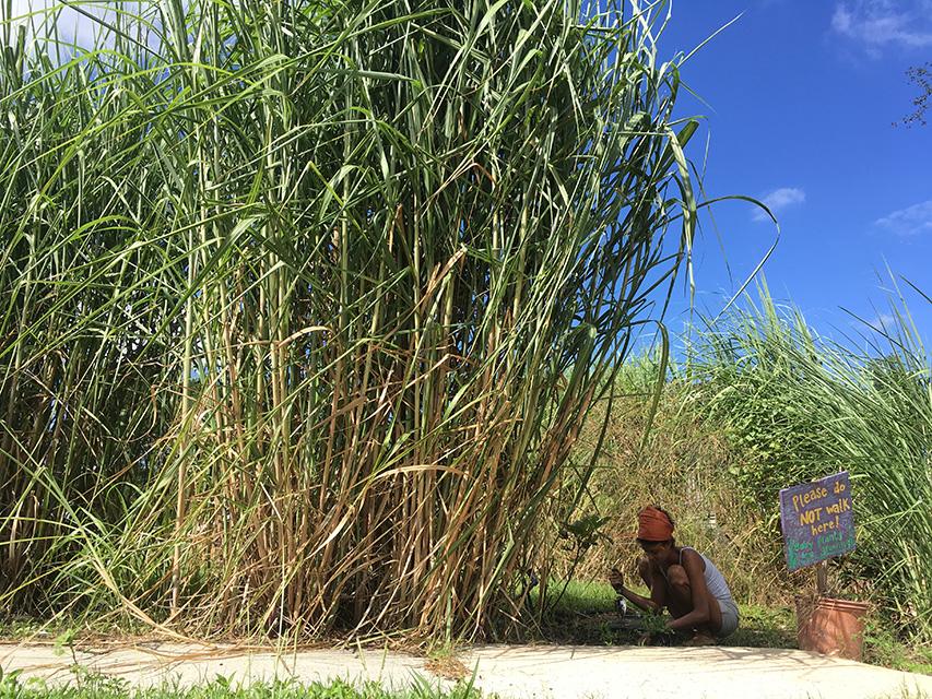 sugarcane - 3 copy.jpg