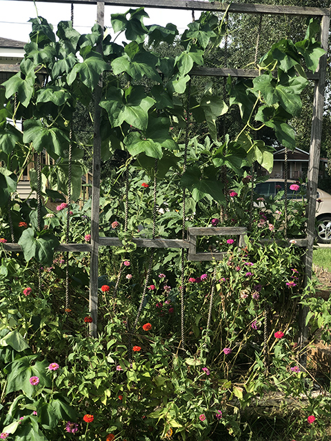 Chopper's gate before the Luffa took it down! An intentional design of the project, we look to plants to overpower manmade symbols of oppression- like prison gates. We look to nature to show us the way.