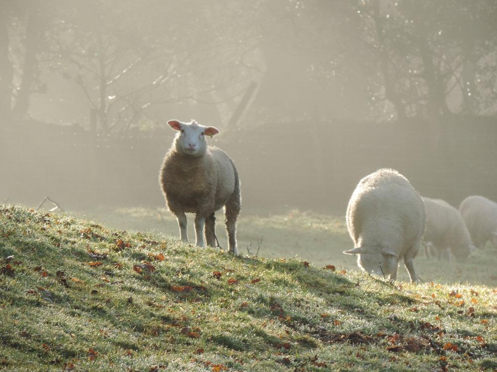 Sheep grazing in Cornwall