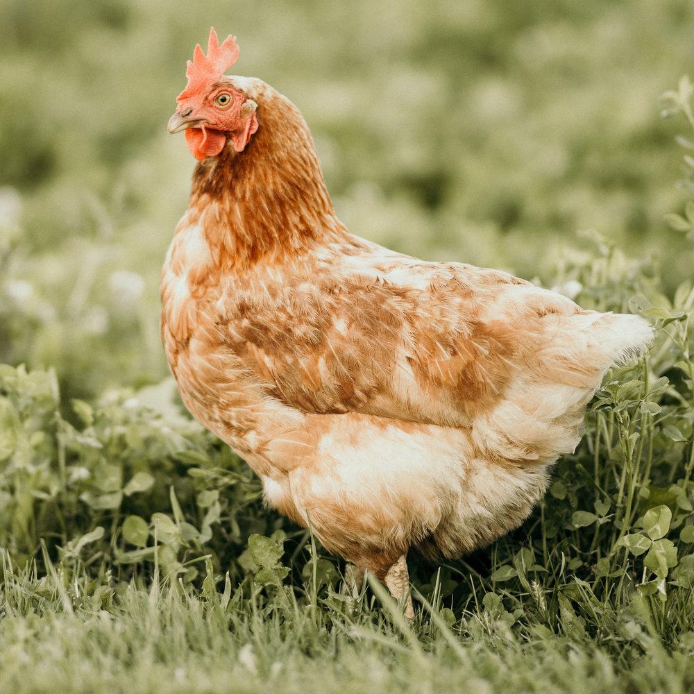 5-Chicks-August-2018-003.jpg