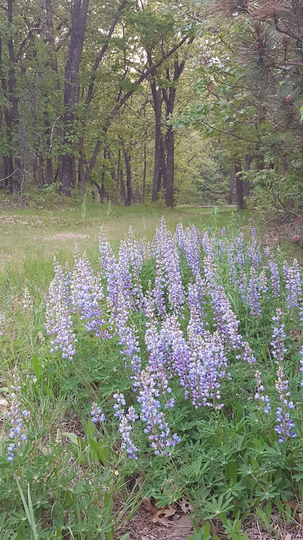 mirror lake lupine.jpg