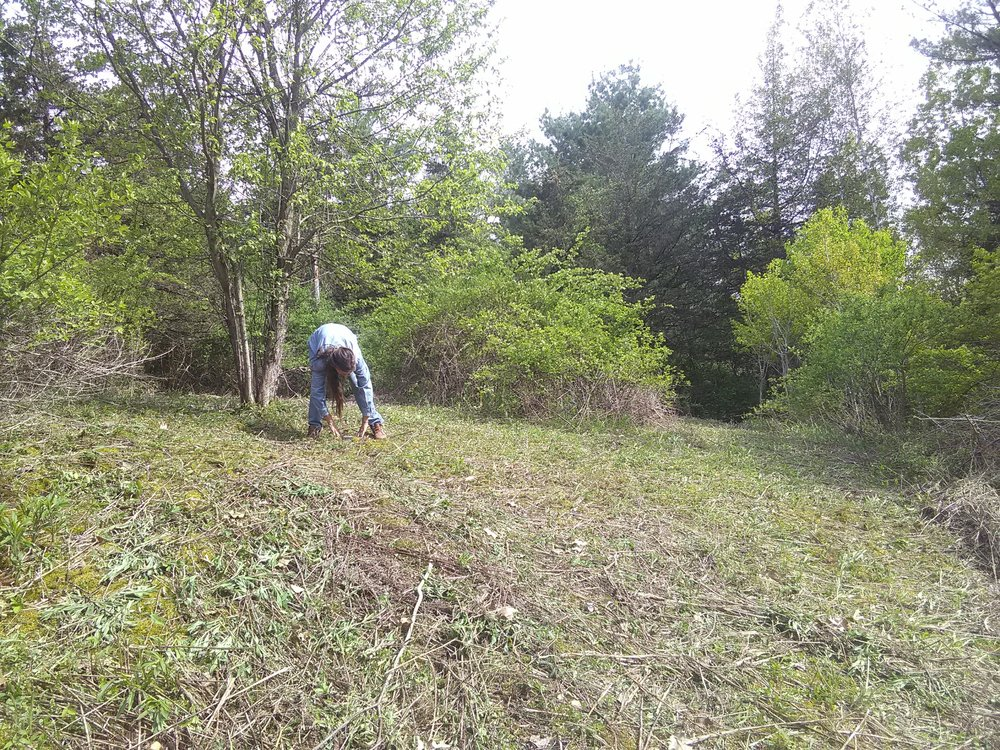Schikoy is pictured here cleaning up debris left from clearing this area out. An apple tree is right next to her, and this area was taken over by the very invasive - but nutritious - Multiflora Rose. We left the relatively small patch in the middle of the picture for harvesting the vitamin packed hips, leaves and flowers, as well as for a habitat for rabbits and birds.