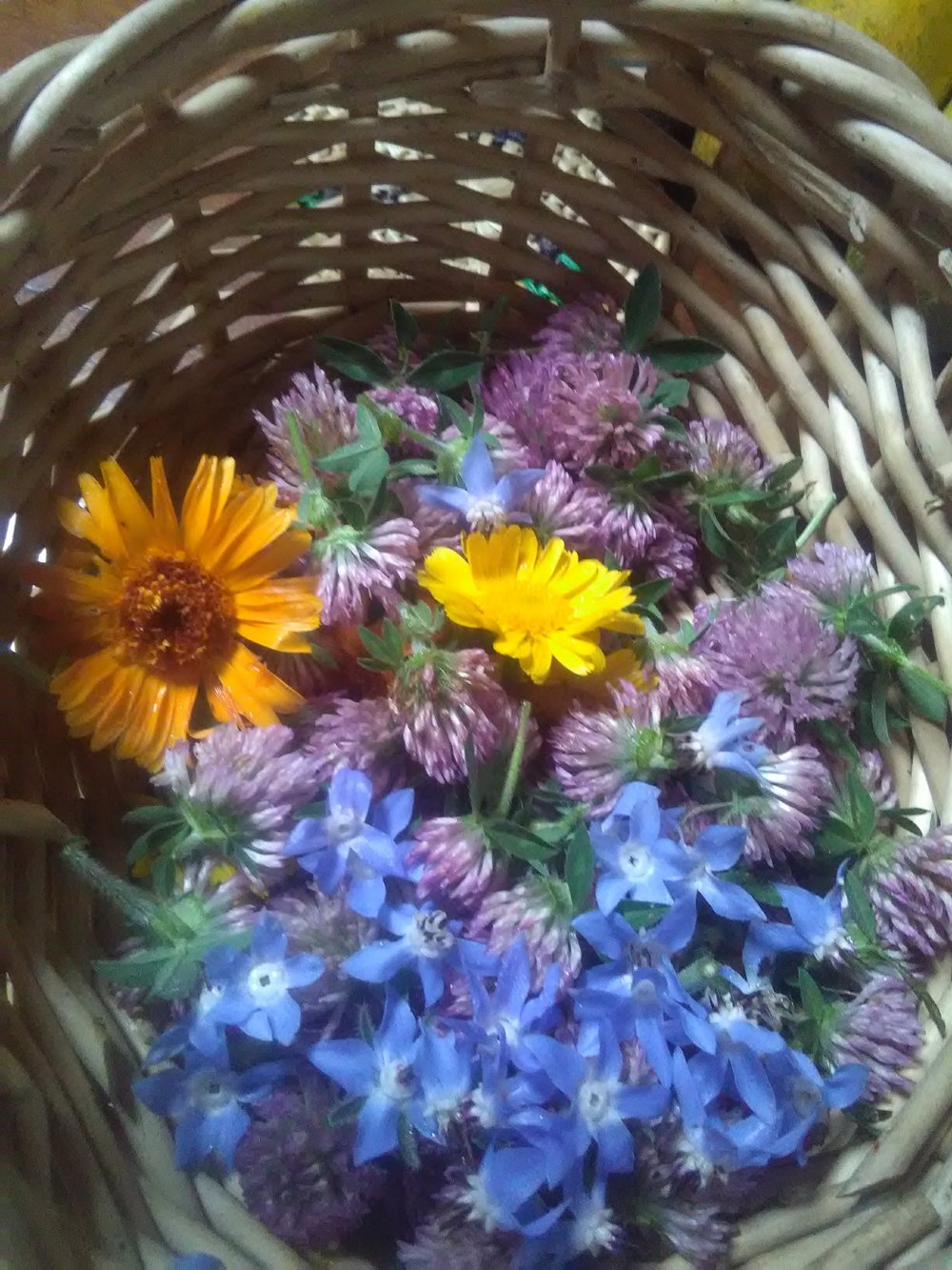 A harvest of calendula, borage and red clover that will be dried and made into a delicious, relaxing and nutritious tea! A little taste of summer in winter.