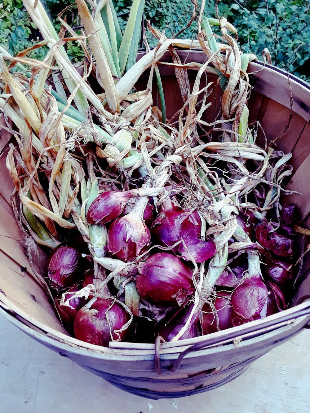 A harvest of red storage onions, cured and ready to be trimmed and put away for winter use.