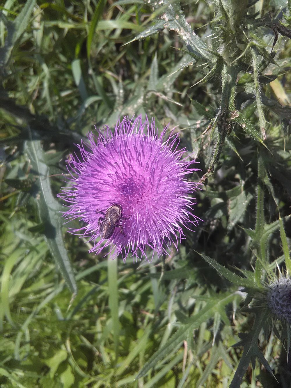 """A bee on a thistle flower, one of the many benefits of letting """"weeds"""" grow near a garden."""