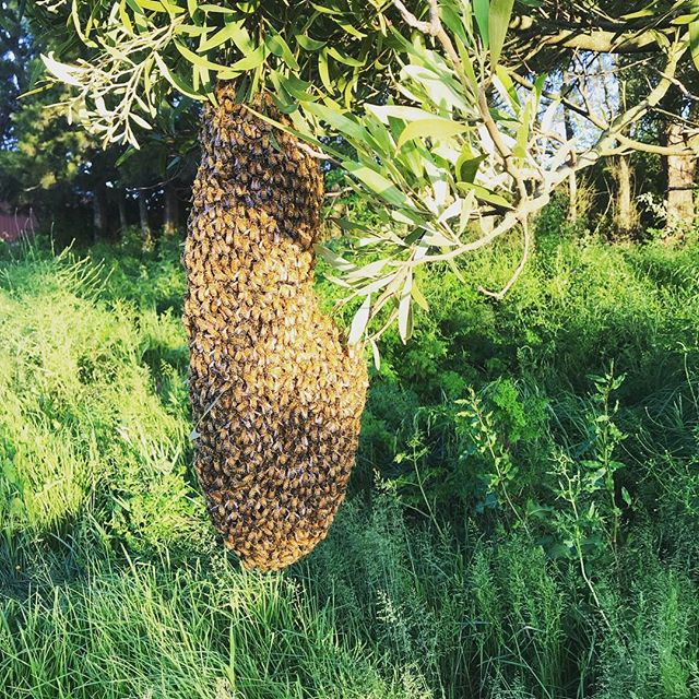 Say hi to the latest family to get out of Waiuku and make the move to the big smoke! #bees  #auckland  #honeybees  #newzealandfinds