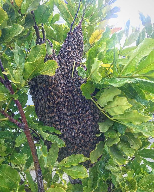 Bees don't normally swarm in the rain, but these little buggars had been out there all night.  They're safe and warm now in a custom made BeeBoysNZ hive.  Total sting count for this swam: 2