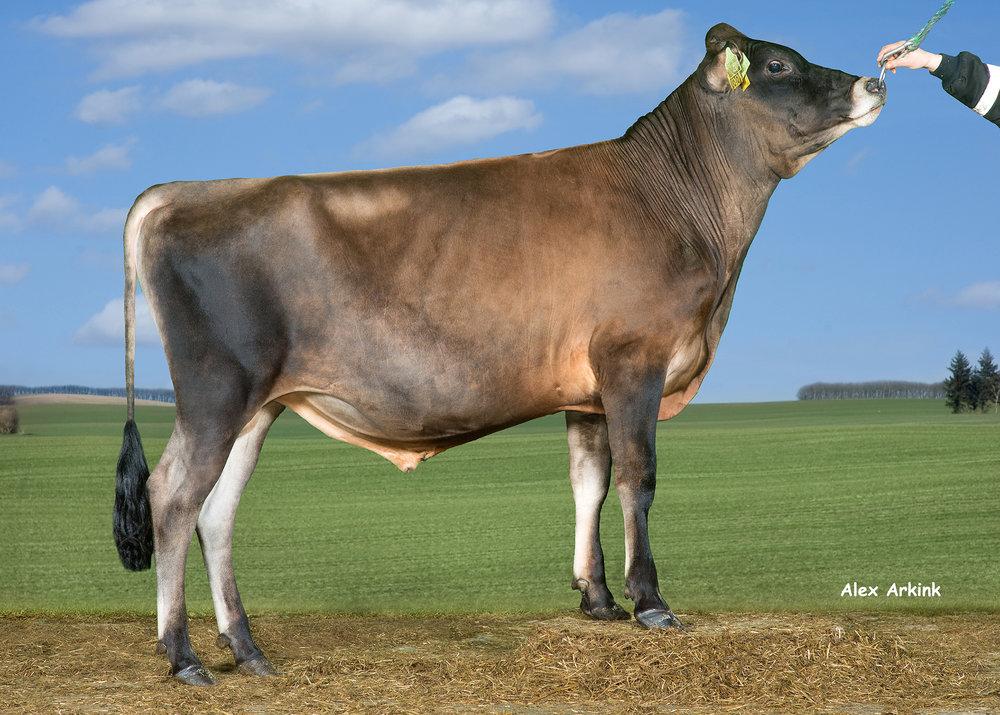 Okseinfo - Her kan finne alt info om oksane til Viking Geneticshttp://www.vikinggenetics.dk/racer/jersey