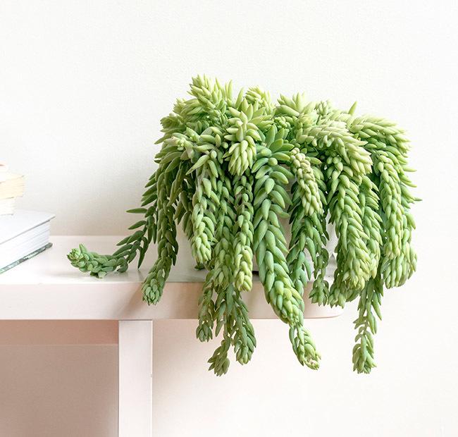 orpin de morgane plante locataire robuste