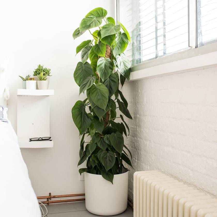 philodendron plante robuste locataire