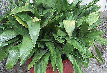 aspidistra plante robuste rendement locatif