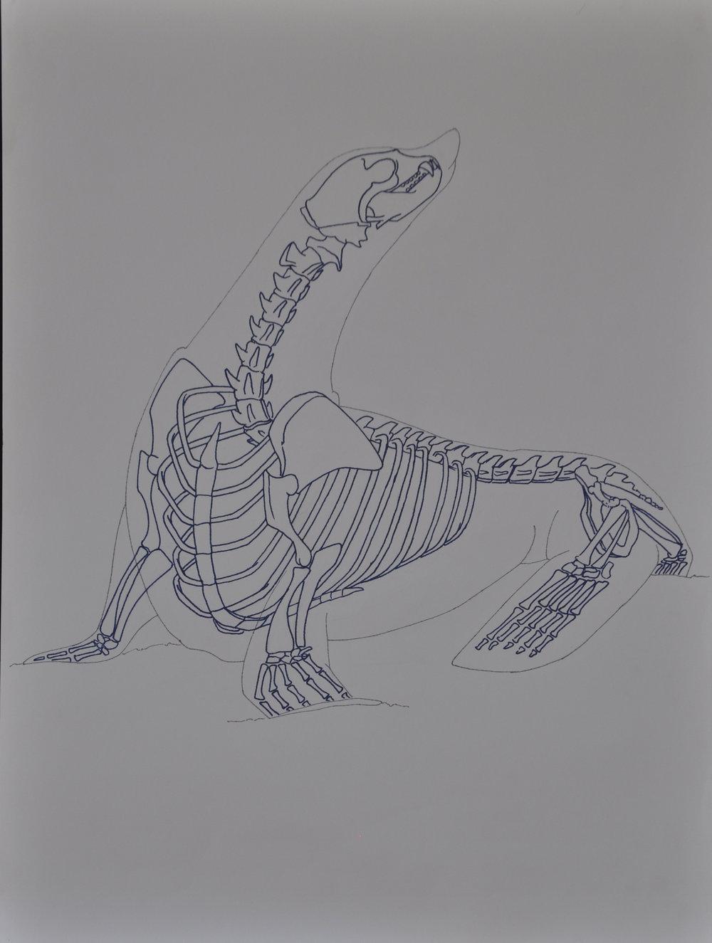 Seal Anatomy Study