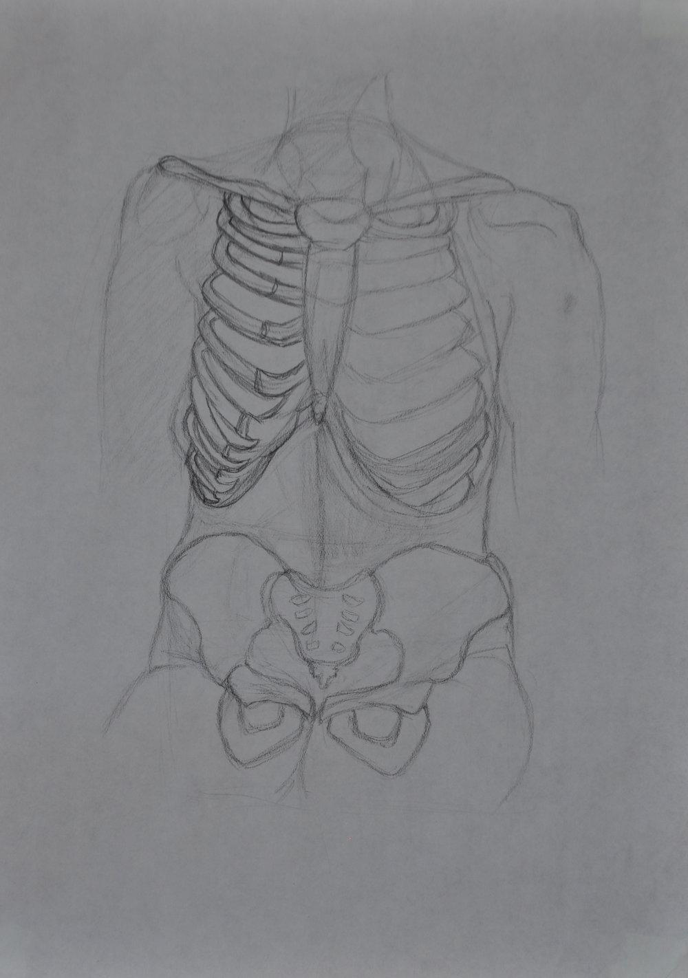 Anatomy Torso Sketch