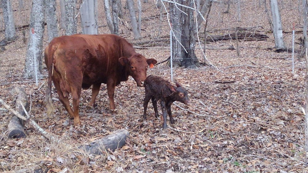 Also… - For a Christmas present we gained another little red calf! They are adorable. The rest of the herd are enjoying the fresh pasture and are looking well.