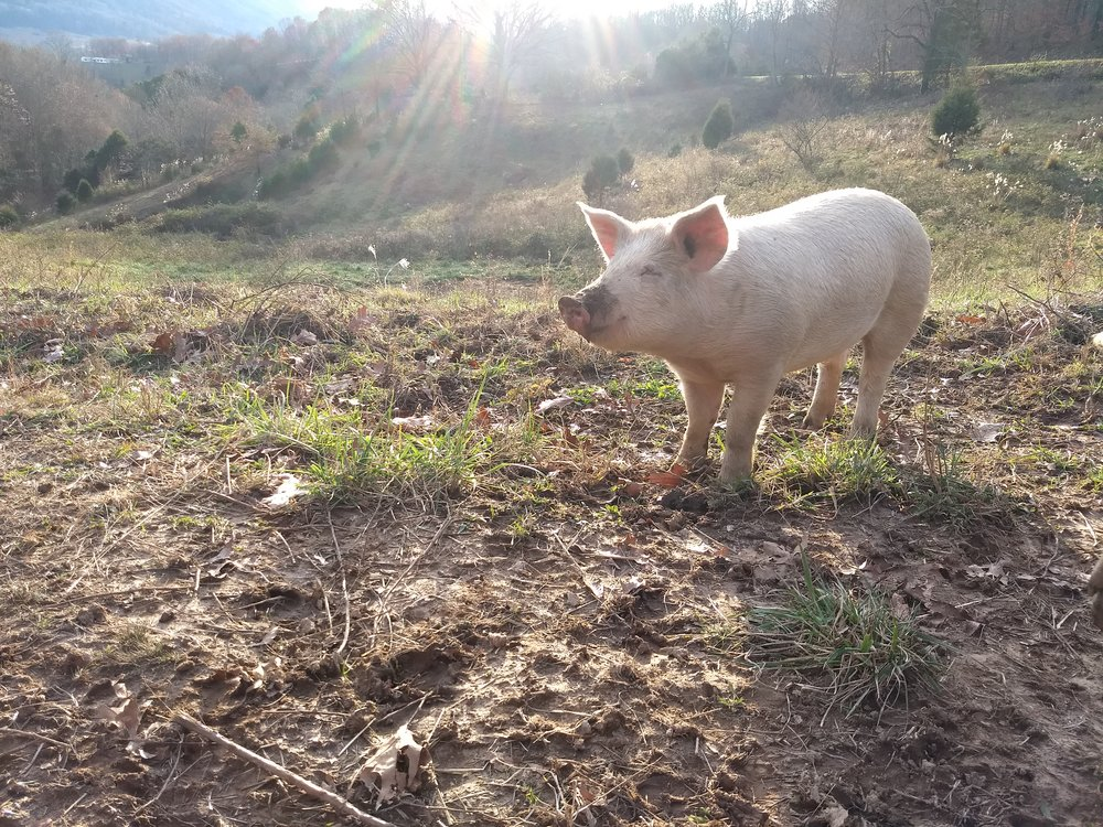The Pigs - The pigs have been behaving. They continue to stay in their fence and enjoy playing in the mud from all the rain and snow that has melted. They are getting close to their one bad day, fattening up for that day.