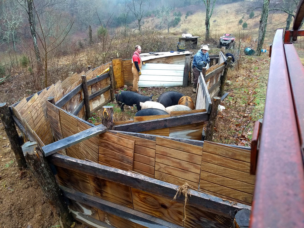Also… - We did get the pigs loaded for their one bad day. They decided to take their time to come up to the corral but all 7 pigs loaded all at once without anyone getting stuck or flipped!