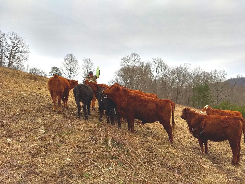 The cows enjoying an apple treat!