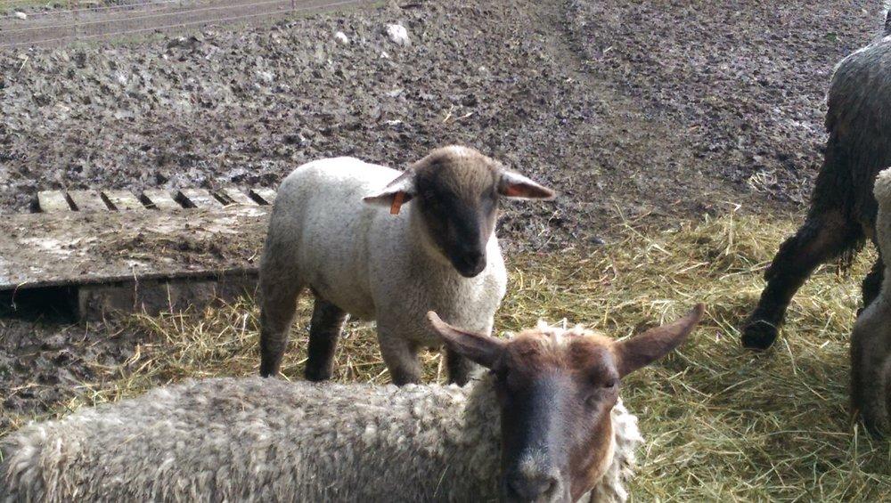 2015 lamb.jpg