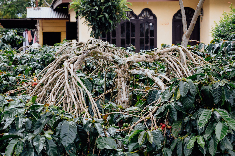 The Tim Tim coffee variety has been pruned with traditional Gayonese technique that encourages it to grow downward.