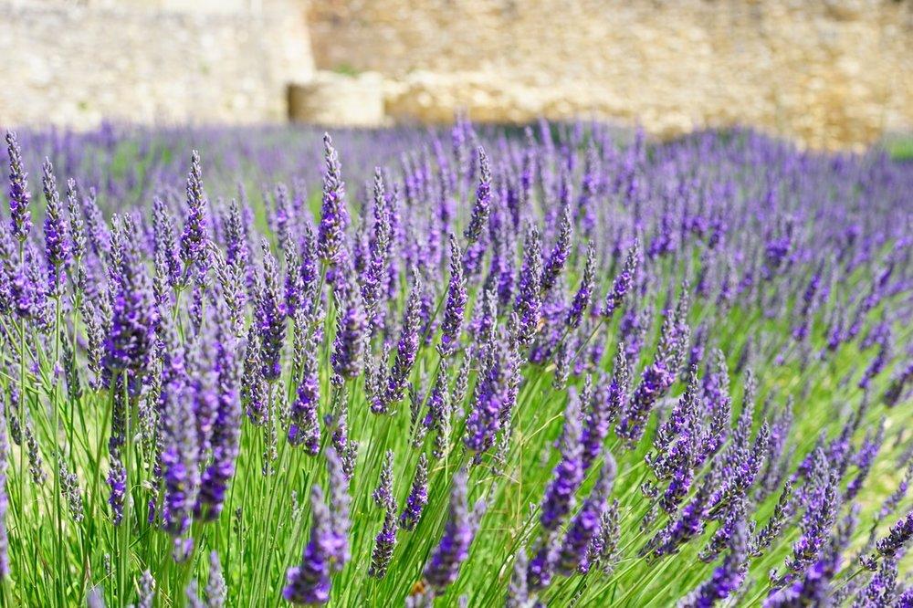 lavender-flowers-blue-lavender-field-159445.jpeg