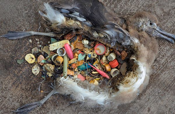 Stomach contents of an Albatross chick found at Midway Island. Photo Credit: Chris Jordan