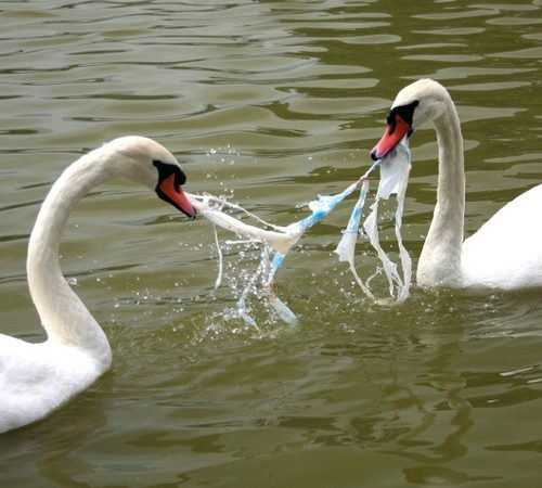 Two swans eating a plastic bag. Photo Credit: unknown