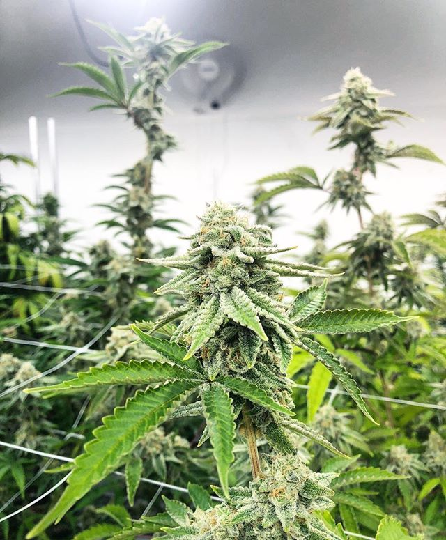 Grape Stomper 🍇 💪🏼 ••• #shiftnewmexico #nmtrue #nmgrown #santafe #medicaldispensary #medicalmarijuana #dispensary #cannabis #cannabiscommunity  #staymedicated #cannacommunity #convenience #santafenm #keepitlocal #genuinecannabis #Albuquerque #shiftnm #growingprocess #clones