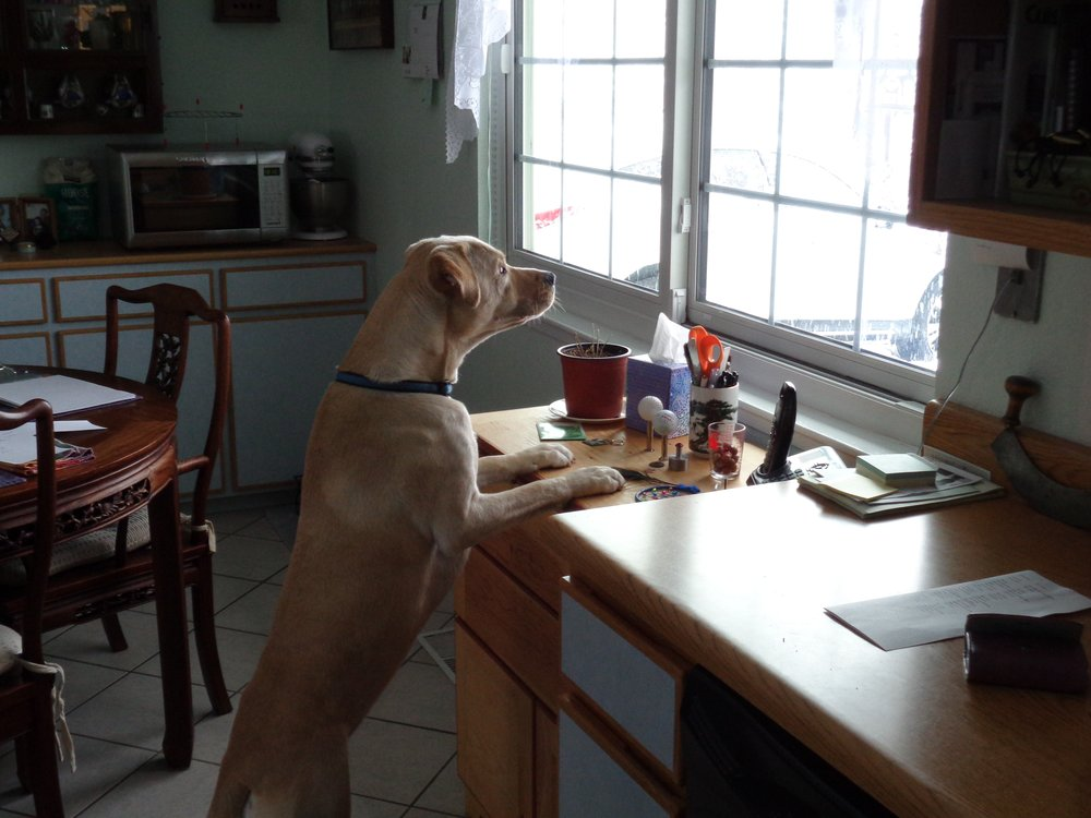 Dog with paws on the counter looking out window // Denver, CO dog walker