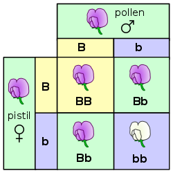 This is a good visualization of how traits are held and passed. Uppercase are dominant. From Wikipedia.