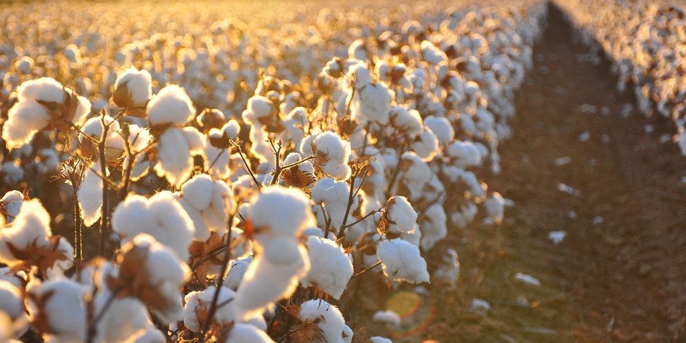cotton field 2.jpg
