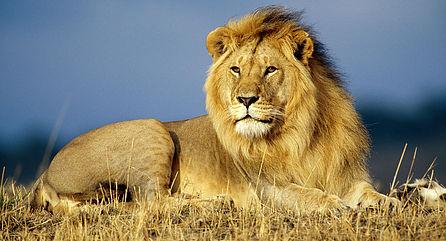 Tarangire lion.jpg