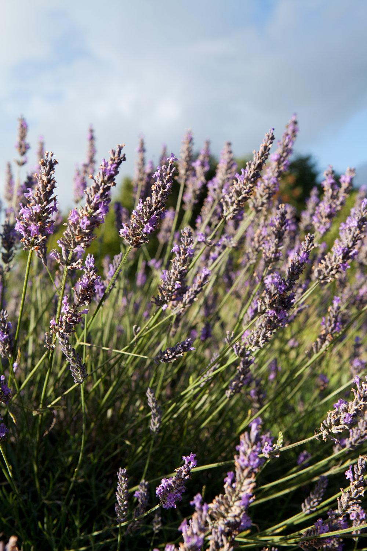 welsh lavender-11.jpg