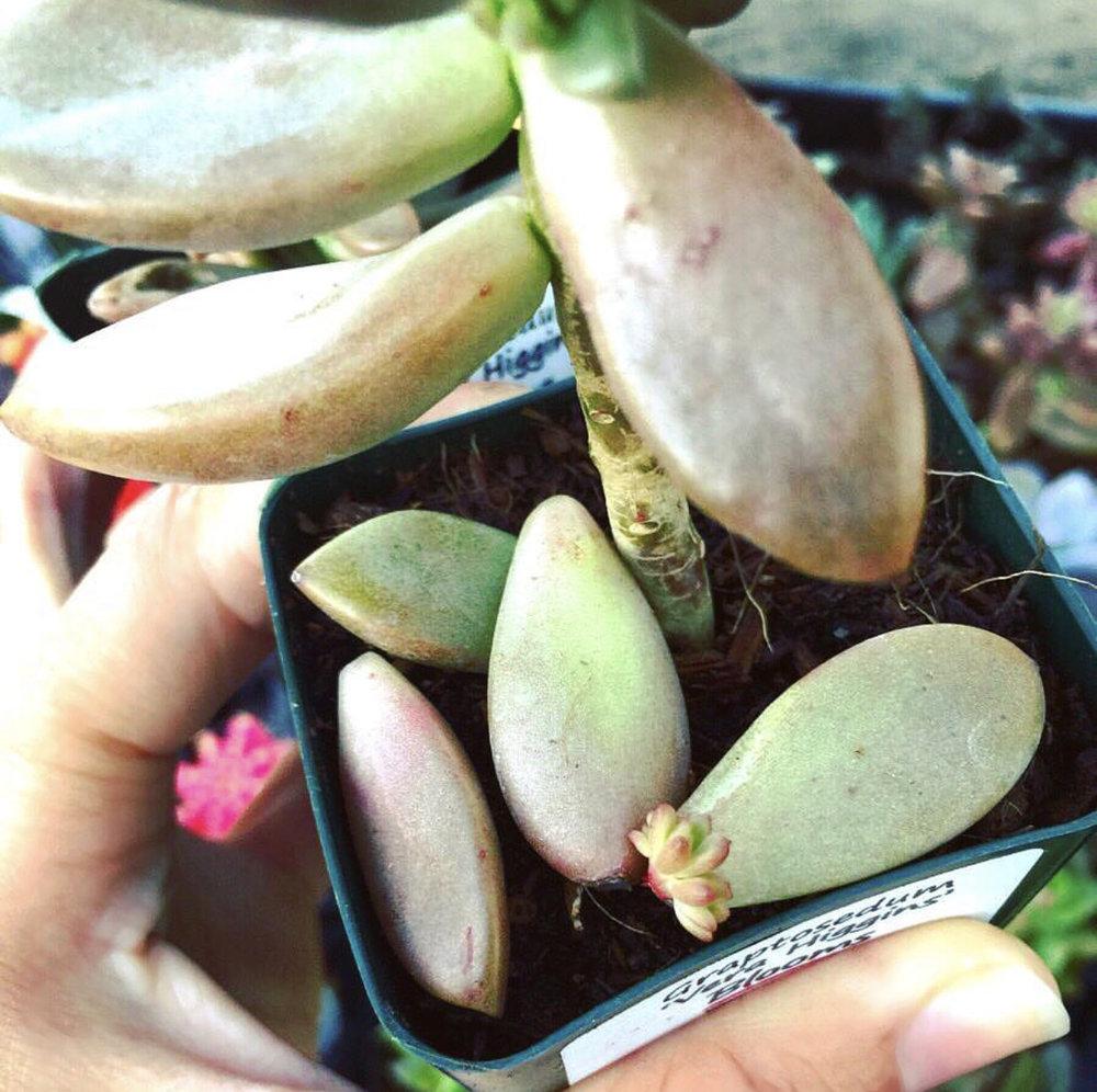 succulent-propagation-leaves