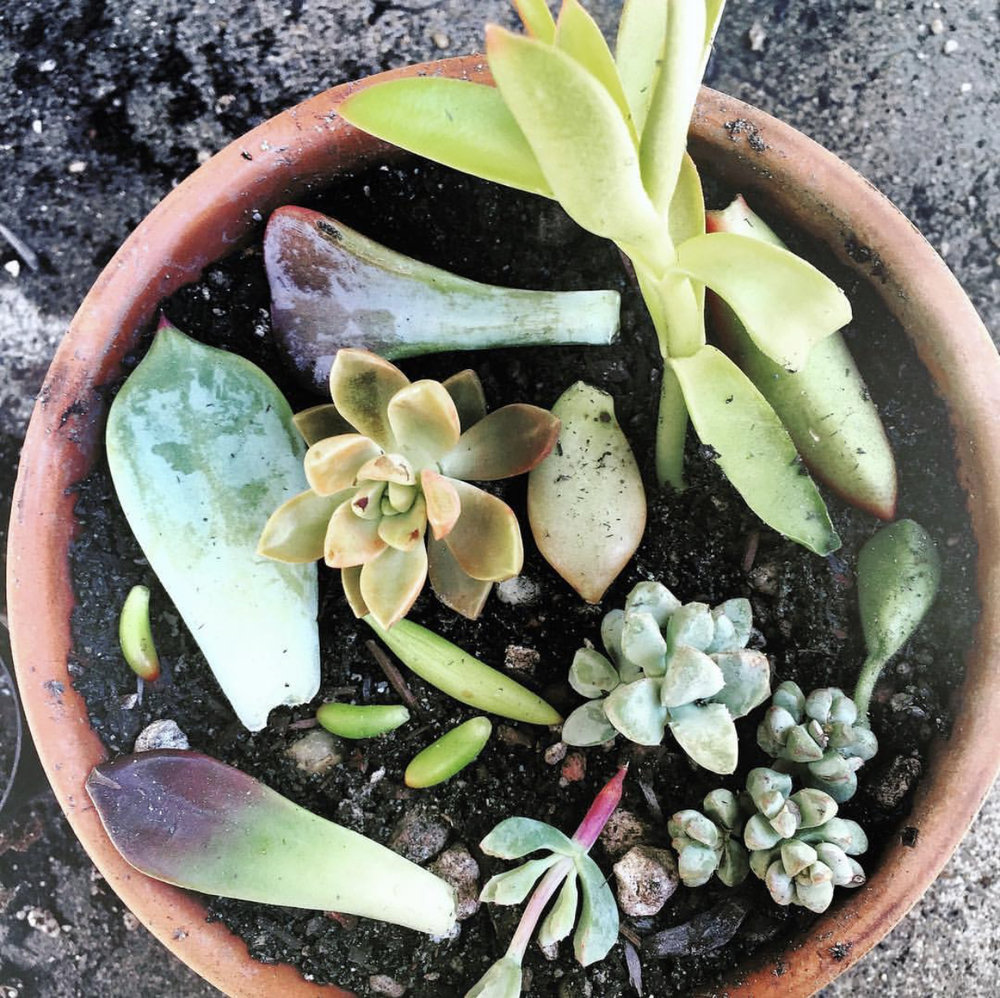 succulent-propagation-leaves