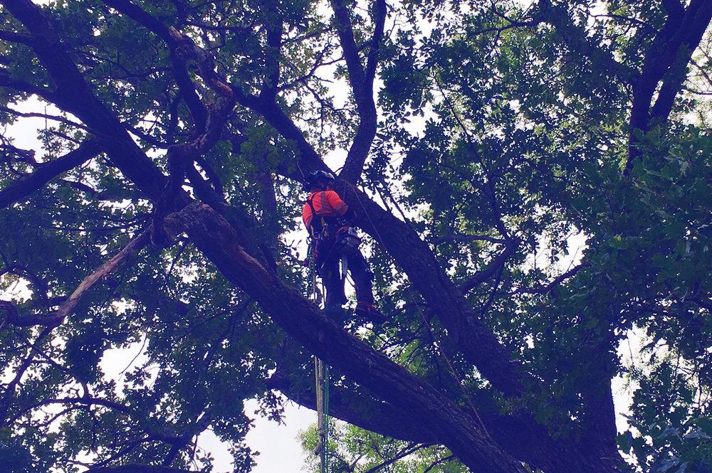 Kronglesning - Beskärning av mindre grenar i kronan med syfte att öka ljusinsläpp eller att minska vindfång.