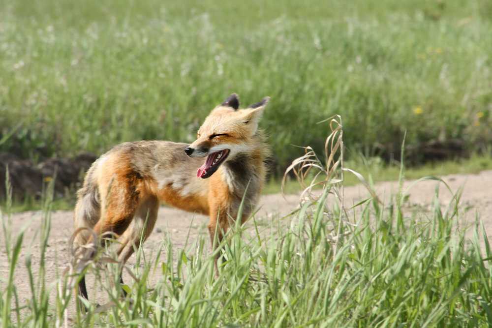 fox edit 3.jpg