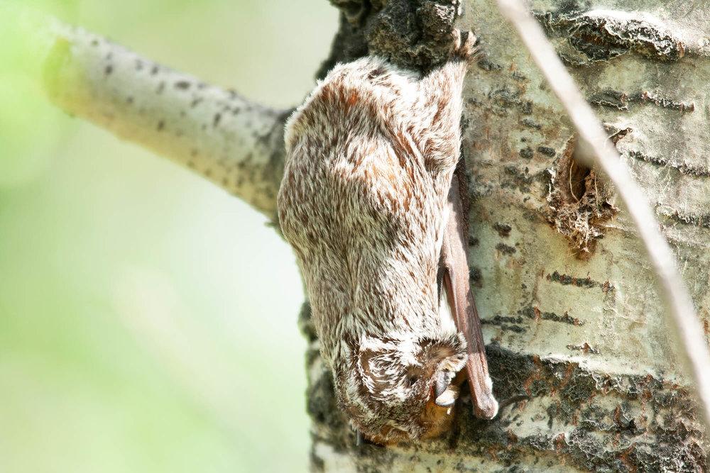 Hoary Bat.jpg