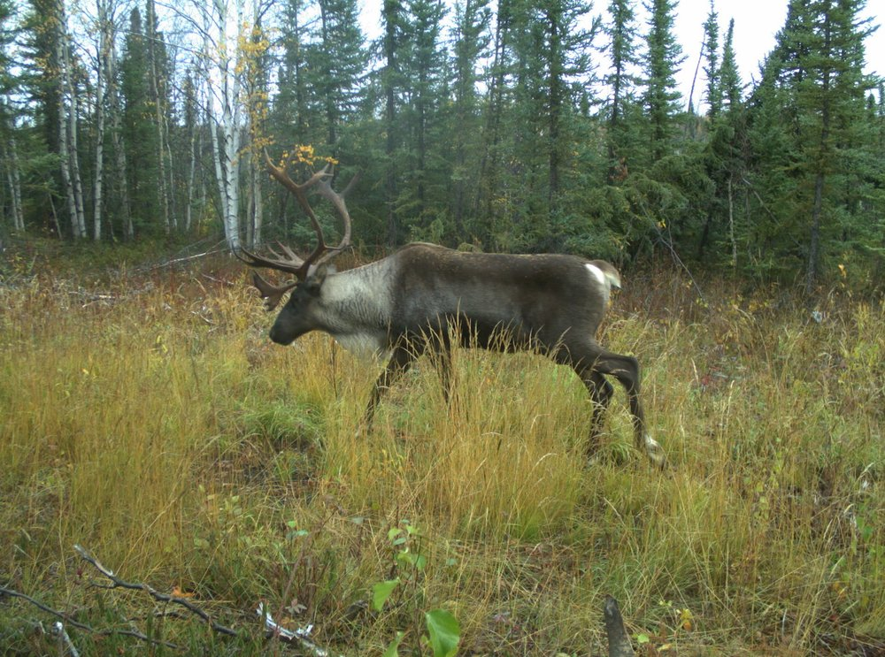 Species at Risk Protection Plans - Caribou.JPG