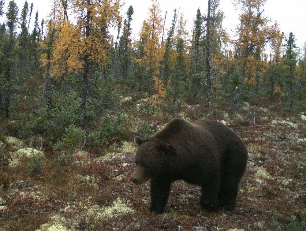 Wildlife Camera Trap Surveys - Grizzly.JPG