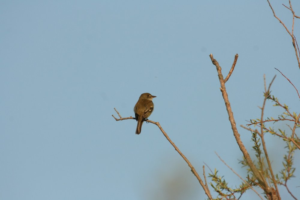 alder flycatcher.jpg