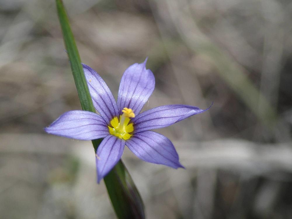 Common Blue-eyed grass_KA.JPG