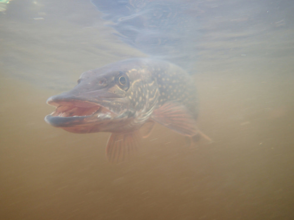 Northern Pike.JPG