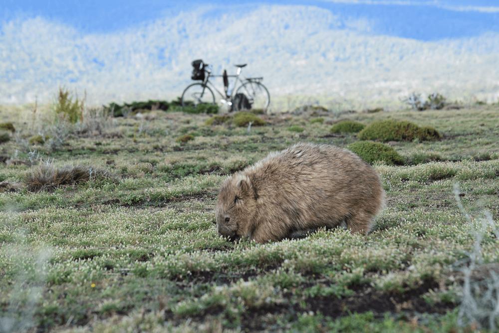 Wombat & Surly