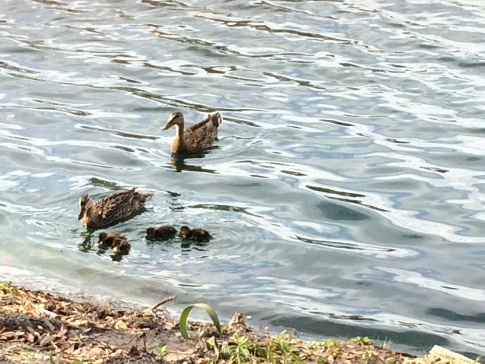 Pond ducks in Bradenton, Fla. (Roger Dankert)