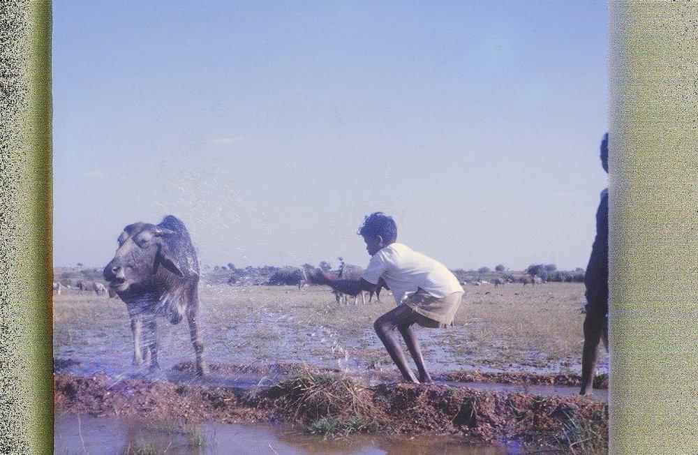 Buffalo bath, Alagadapa, India (John Stone)