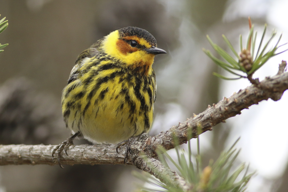 Cape May Warbler- Michigan