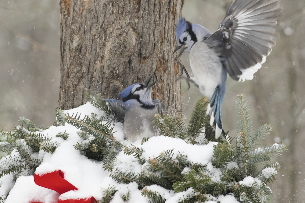 You do not have to travel to see Bird Behavior. Here Blue Jays battle for food on a sub zero morning.